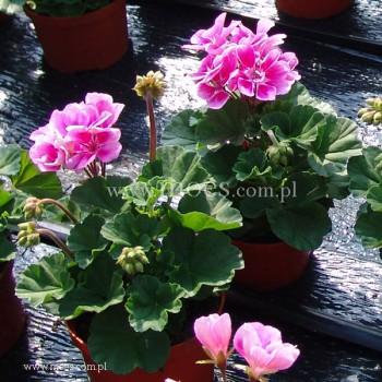 Pelargonia ogrodowa stojąca (Pelargonium zonale) - Toscana - Raiko