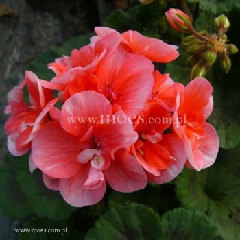Pelargonia ogrodowa stojąca (Pelargonium zonale) - Toscana - Soren