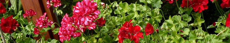 Pelargonia ogrodowa stojąca <br>(Pelargonium zonale)