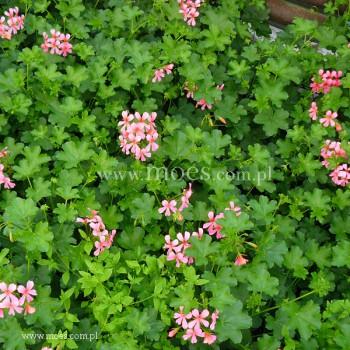 Pelargonia bluszczolistna zwisająca (Pelargonium peltatum) - Balcon - Pink