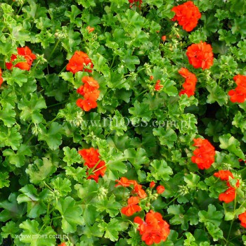 Pelargonia bluszczolistna zwisająca (Pelargonium peltatum) - Toscana - Falko