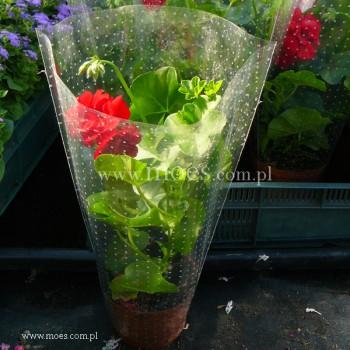 Pelargonia bluszczolistna zwisająca (Pelargonium peltatum) - Toscana - Ruben