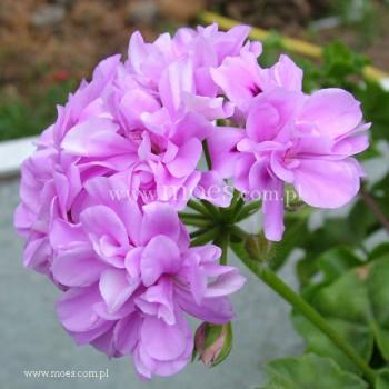 Pelargonia bluszczolistna zwisająca (Pelargonium peltatum) - Toscana - Teske