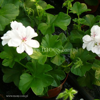 Pelargonia bluszczolistna zwisająca (Pelargonium peltatum) - Toscana - Wittje