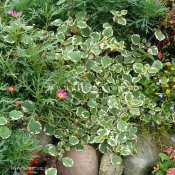 Plektrantus krzewiasty (Plectranthus coleoides) - Variegatus