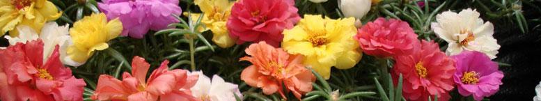 Portulaka wielkokwiatowa  (Portulaca grandiflora)