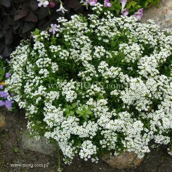 Smagliczka nadmorska (Lobularia maritima) - Snow Cristal