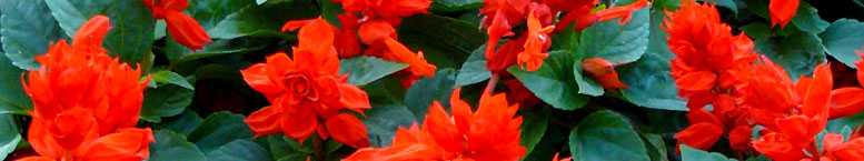Szałwia błyszcząca <br>(Salvia splendens)