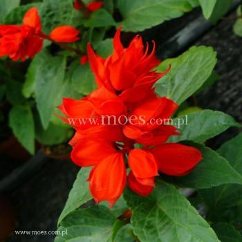 Szałwia błyszcząca (Salvia splendens) - Vista - Red