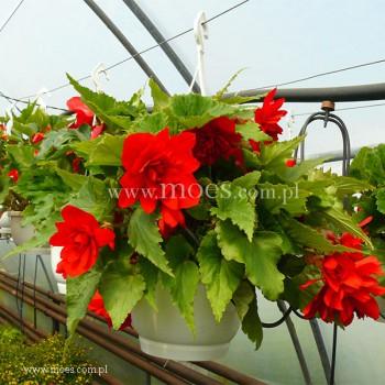 Begonia bulwiasta (Begonia tuberhybrida) - Illumination - Scarlet