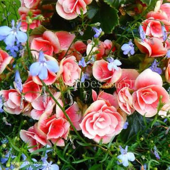 Begonia zimowa (Begonia elatior) - Barkos - Borias