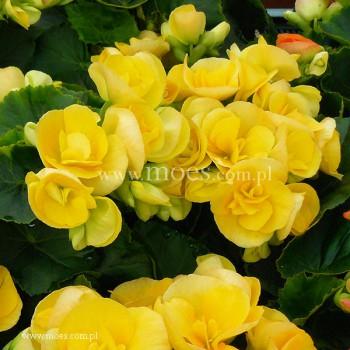 Begonia zimowa (Begonia elatior) - Ilona - Nadine