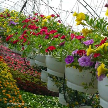Calibrachoa calibrachoa x hybrida trixi hot petticoat - Calibrachoa trixi ...