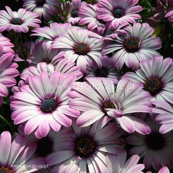 Osteospermum (Osteospermum ecklonis)  - FlowerPower - Light Pink