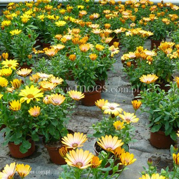 Osteospermum (Osteospermum ecklonis)  - FlowerPower - Pink Honey