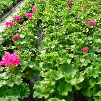 Pelargonia ogrodowa stojąca (Pelargonium zonale) - Toscana - Katarina