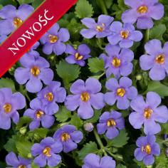 Bakopa (Sutera diffusa) - Scopia Guliver - Blue