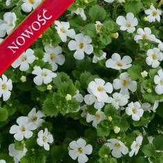 Bakopa (Sutera diffusa) - Scopia Guliver - Dynamic White