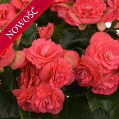 Begonia zimowa (Begonia elatior) - Barkos - Binos Pink