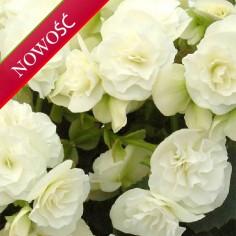Begonia zimowa (Begonia elatior) - Ilona - Clara