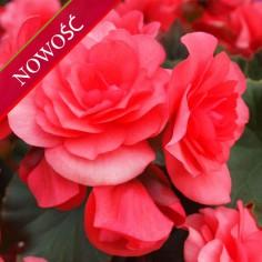 Begonia zimowa (Begonia elatior) - Solenia - Dark Pink