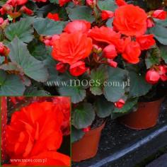 Begonia zimowa (Begonia elatior) - Solenia - Red