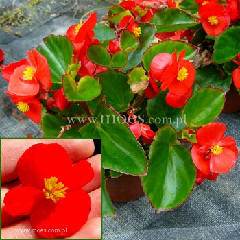 Begonia stale kwitnąca (Begonia semperflorens) - Juwel - Scarlet