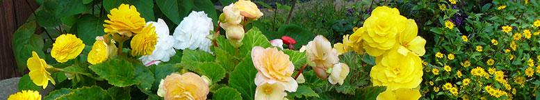 "Begonia bulwiasta (Begonia tuberhybrida) ""stojąca"""