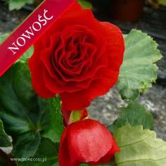 Begonia bulwiasta (Begonia tuberhybrida) - Fortune - Deep Red