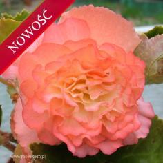 Begonia bulwiasta (Begonia tuberhybrida) - Fortune - Peach Shades