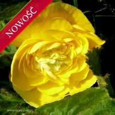Begonia bulwiasta (Begonia tuberhybrida) - Fortune - Yellow