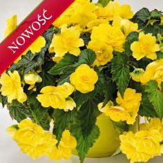 Begonia bulwiasta (Begonia tuberhybrida) - NonStop - Joy Yellow