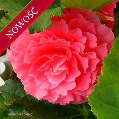 Begonia bulwiasta (Begonia tuberhybrida) - NonStop - Pink