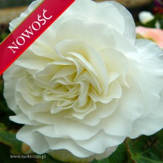 Begonia bulwiasta (Begonia tuberhybrida) - NonStop - White