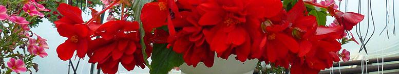 "Begonia bulwiasta <br>(Begonia tuberhybrida)  ""zwisająca"""