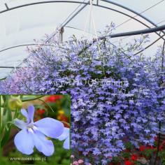 Lobelia przylądkowa (Lobelia erinus) - Laguna - Trailing Sky Blue