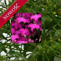Lobelia przylądkowa (Lobelia erinus) - Laguna - Trailing Violet
