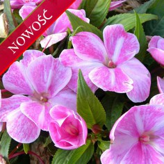 Niecierpek Nowogwinejski (Impatiens New Guinea) - Sonic - Magic Pink