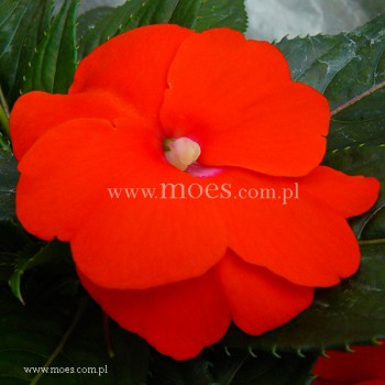Niecierpek Nowogwinejski (Impatiens New Guinea) - Sonic - Orange