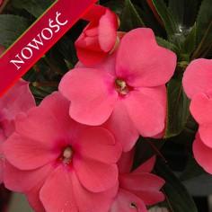 Niecierpek Nowogwinejski (Impatiens New Guinea) - Sonic - Pink