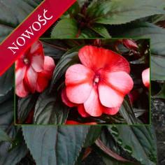 Niecierpek Nowogwinejski (Impatiens New Guinea) - Sonic - Red Star
