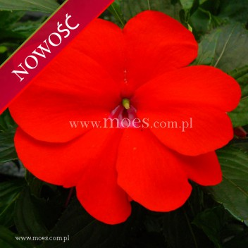 Niecierpek Nowogwinejski (Impatiens New Guinea) - Sonic - Scarlet
