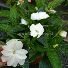 Niecierpek Nowogwinejski (Impatiens New Guinea) - Sonic - White