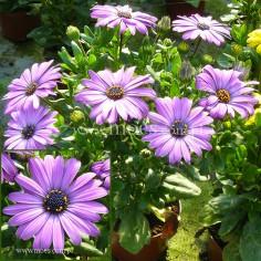 Osteospermum (Osteospermum ecklonis)  - FlowerPower - Blue