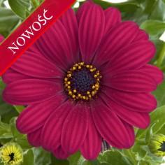 Osteospermum (Osteospermum ecklonis)  - FlowerPower - Purple Red