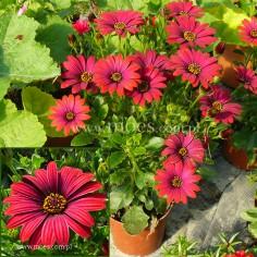 Osteospermum (Osteospermum ecklonis)  - FlowerPower - Red