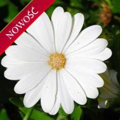 Osteospermum (Osteospermum ecklonis)  - FlowerPower - Cream
