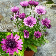 Osteospermum (Osteospermum ecklonis) - FlowerPower 3D - Purple