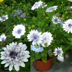 Osteospermum (Osteospermum ecklonis) - FlowerPower 3D - Silver