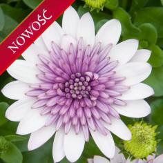 Osteospermum (Osteospermum ecklonis) - FlowerPower 3D - Violet Ice